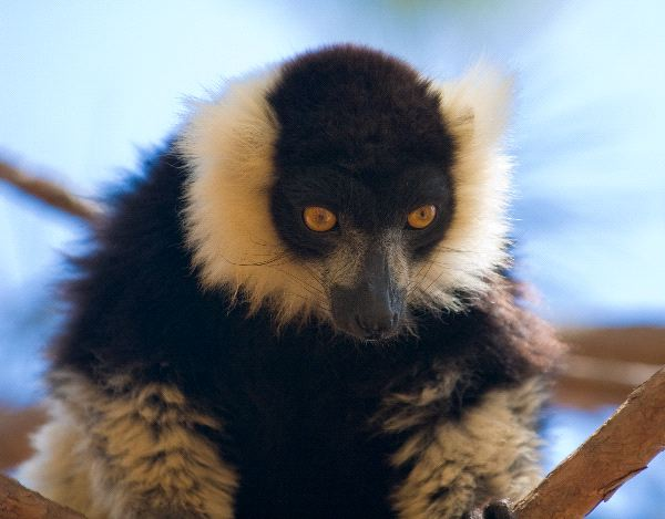 Black And White Ruffed Lemur - Varecia Variegata