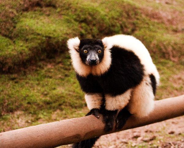 Lemur_rufo_blanco_y_negro_600
