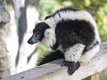 Black And White Ruffed Lemur At The Zoo