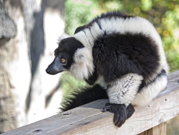 Lemur_blanco_y_negro_en_un_zoologico_600