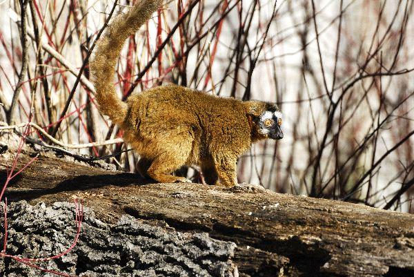 Brown Lemur - Eulemur fulvus