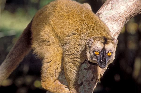 Brown Lemur On Tree