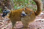 Brown Lemur With Infant