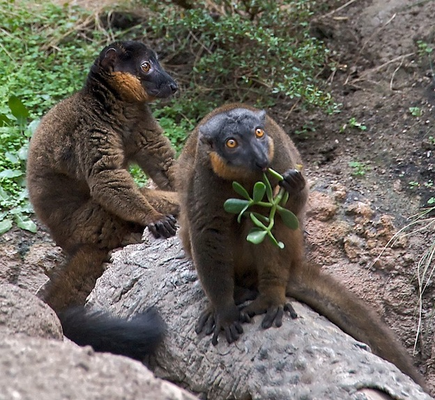 Red-collared brown lemur or red-collared lemur