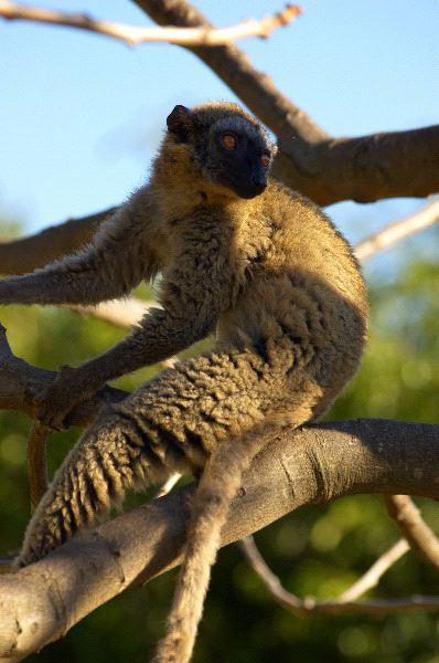 lemur_pardo_mirando_a_su_alrededor_600