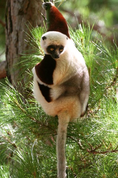 Coquerel Sifaka Hanging From a Branch