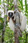 Sifaka Watching The Camera