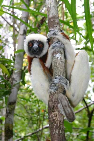 Coquerel Sifaka Watching The Camera