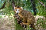 Crowned Lemur Endemic Of Madagascar