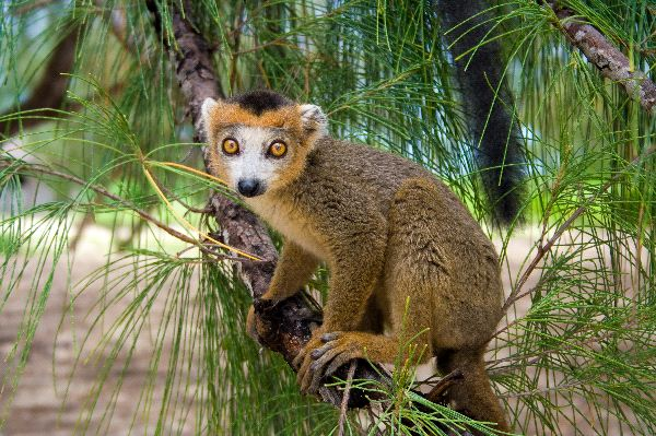 Crowned Lemur Endemic Of Madagascar