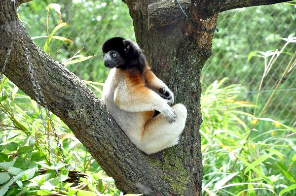 Crowned Sifaka Looking Over His Shoulders
