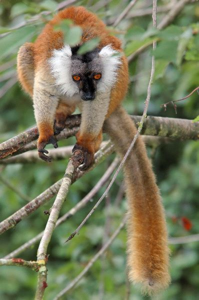Female_Black_Lemur_600