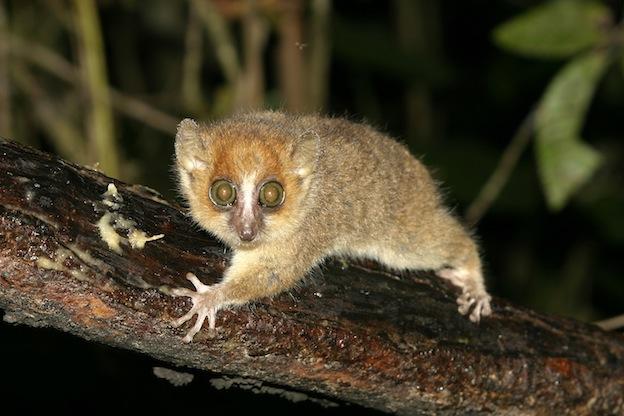 Información sobre el lémur ratón gris.
