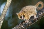 Lémur Ratón Gris - Microcebus murinus