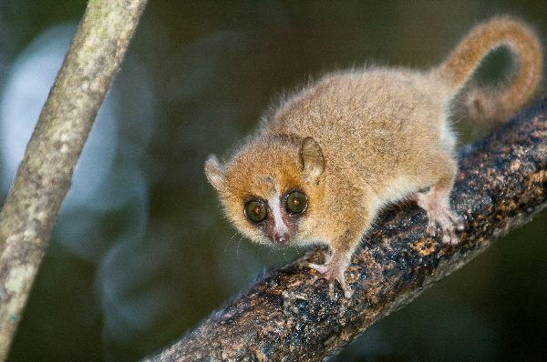 lemur_raton_gris_Microcebus_Murinus_600