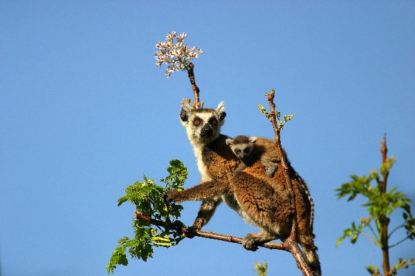 Lemur_Mother_And_Infant_On_Her_Back_600