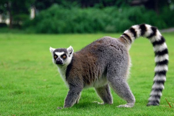 Lemur_Playing_On_The_Grass_600