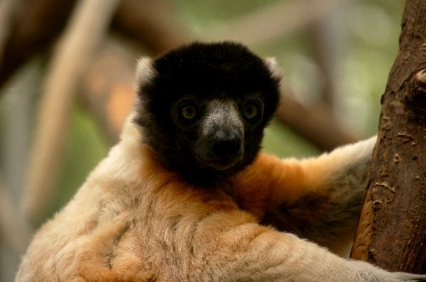 Lemur_in_Captivity_600