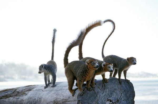 Grupo_de_lemures_mangosta_sobre_un_tronco_600