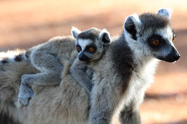 Mother_and_Infant_Ring_Tailed_Lemur_600
