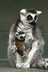 Mother and Infant Ring Tailed Lemur in Captivity