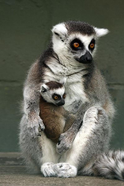 Madre_y_cria_de_lemur_cola_anillada_en_cautiverio_600