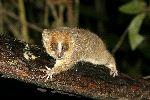 Mouse Lemur With Its Big Eyes