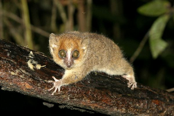 Mouse_Lemur_With_Its_Big_Eyes_600