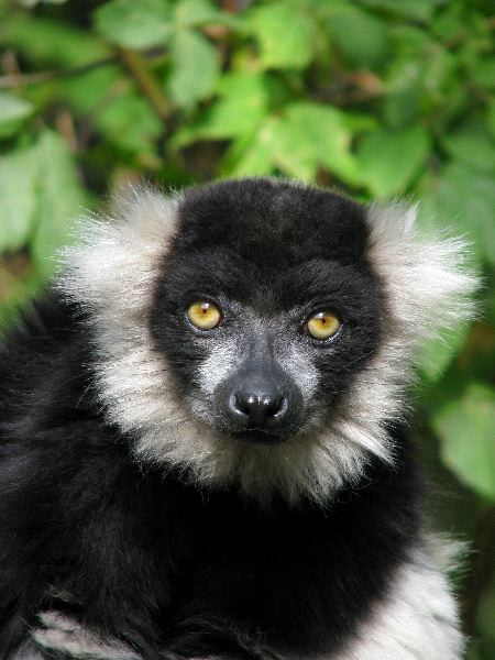 Portrait_Of_The_Ruffed_Lemur_600