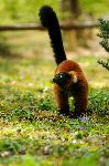 Red Ruffed Lemur And His Reddish Fur