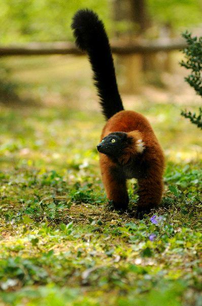 Lemur_rufo_rojo_con_su_pelaje_rojizo_600