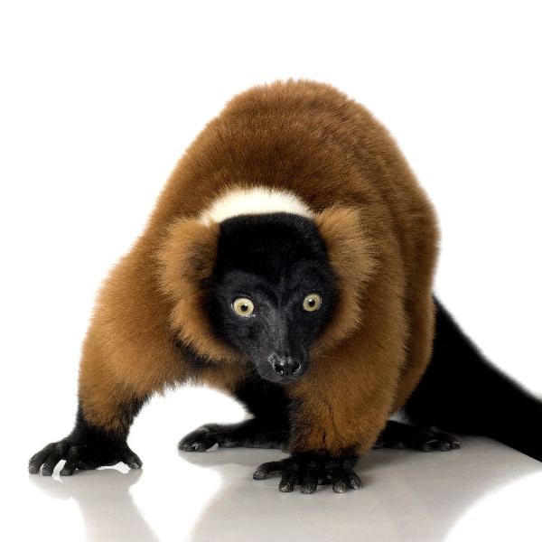 Red_Ruffed_Lemur_In_White_Background_600