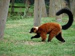 Red Ruffed Lemur Walking On Grass