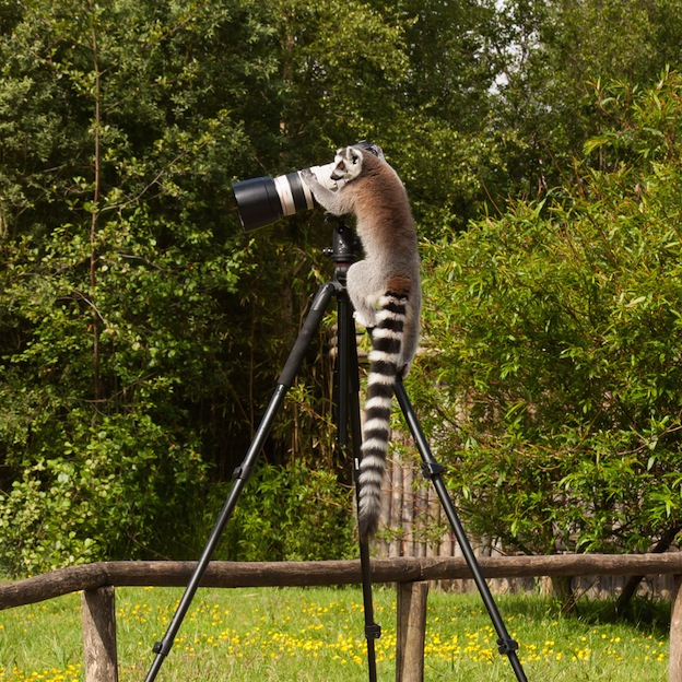 Interesting facts about Ring-Tailed Lemur