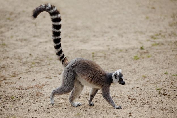 Ring-Tailed Lemur characteristics