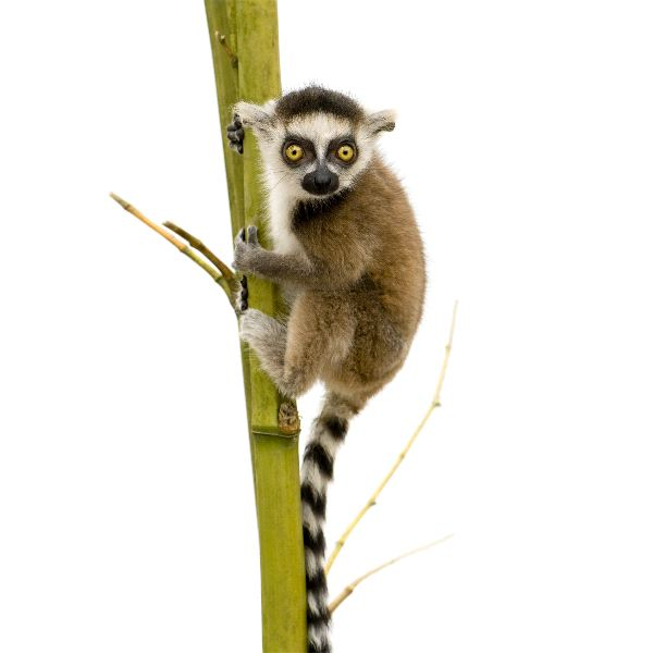 Ring Tailed Lemur Background