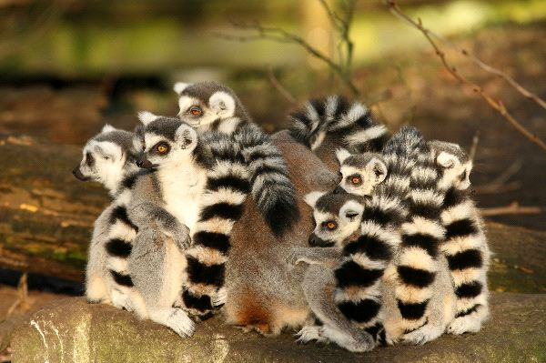 Ring_Tailed_Lemur_Plot_Sitting_Close_Together_600