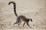 Ring Tailed Lemur Walking