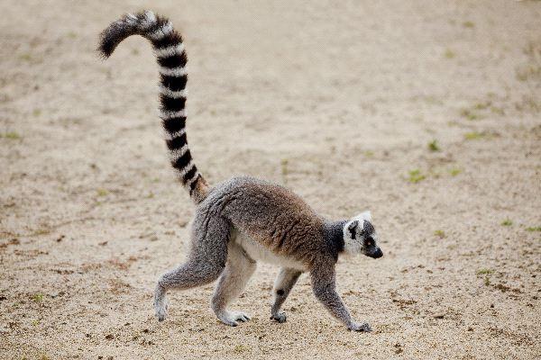 Ring_Tailed_Lemur_Walking_600