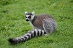 Ring Tailed Lemur With Its Characteristic Tail