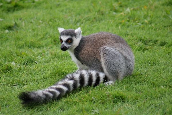 Ring_Tailed_Lemur_With_Its_Characteristic_Tail_600