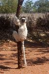 Sifaka Climbed On A Tree