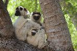 Sifaka Family On A Tree