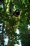 Sifaka Looking Down