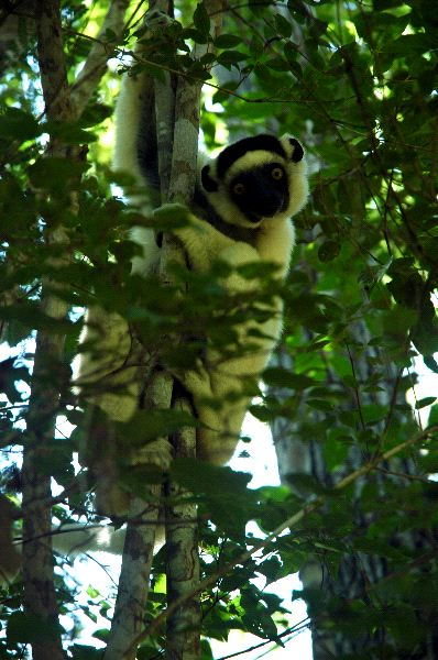 Sifaka_Looking_Down_600
