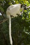 Sifaka With Long Tail