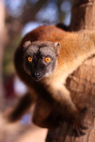 Sorprendido_lemur_mirando_hacia_la_camara__600