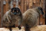 Two Brown Lemurs