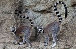 Two Lemurs Posing