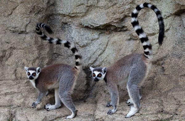 Two_Lemurs_Posing_600